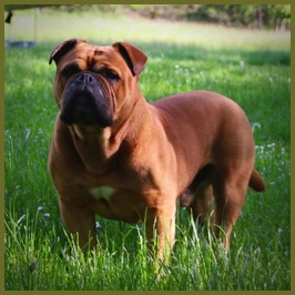 Continental bulldog Rüde male